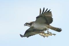 Fischadler Pandion haliaetus tragende Fische im Flug Lizenzfreie Stockbilder