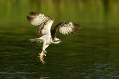 Fischadler Pandion haliaetus tragende Fische im Flug Stockbild