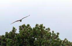 Fischadler steigt an Stockbild