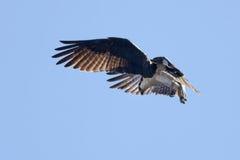 Fischadler sucht unten nach Fischen. Lizenzfreie Stockfotografie