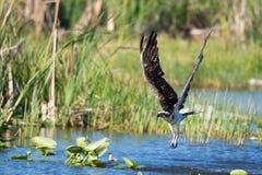 Fischadler taucht auf Stockfotos