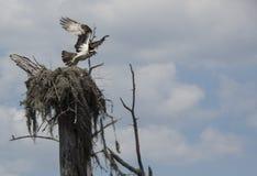 Fischadler verlässt Nest - Rotwild-Point See Lizenzfreies Stockfoto
