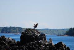 Fischadler-Vogel-Landung auf einem Felsen-Nest Lizenzfreie Stockbilder