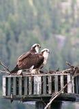 Fischadler zwei auf Nest Lizenzfreie Stockbilder