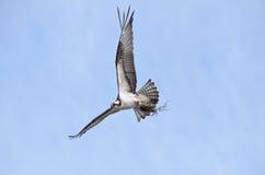 Fischadlerfliegen, das Nestmaterial erfasst Stockbild