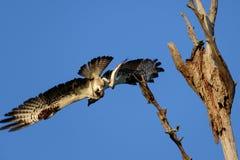 Fischadlerfliegen vom Baum mit Fischen Lizenzfreie Stockfotos