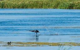 Fischadlerwassergehen Lizenzfreies Stockfoto
