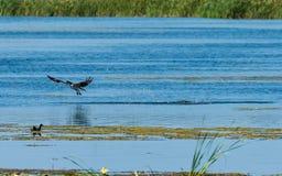 Fischadlerwassergehen Lizenzfreies Stockbild