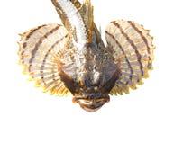 Fischbull spread seine vorderen Flossen Stockbild