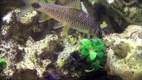 fische aquarium unter wasser schwimmend hobby hintergrund stock video video von aqua. Black Bedroom Furniture Sets. Home Design Ideas