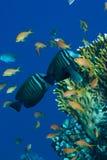 Fische auf dem Riff Stockfoto