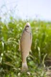 Fische auf einem Haken Stockbild