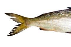 Fische auf einem weißen Hintergrund Endstückheringe Stockfotografie