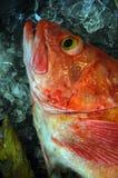 Fische auf Eis Stockfotos