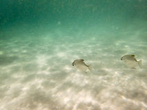 Fische auf sandigem Meeresgrund lizenzfreie stockfotos
