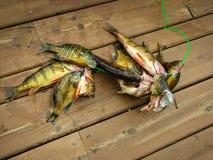 Fische aufgereiht auf einem Fischen Stinger, der auf eine hölzerne Plattform legt Stockfotografie