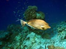 Fische: Bluespine Unicornfish Lizenzfreie Stockfotografie