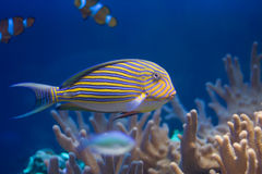 Fische in den Korallen Lizenzfreies Stockbild