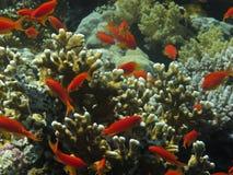 Fische der roten Koralle unter Wasser. Lizenzfreies Stockfoto