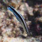 Fische des Gemeinen Putzerfisches im Wasser von tropischem Meer nahe lizenzfreies stockfoto