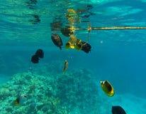 Fische des Roten Meers Stockbilder