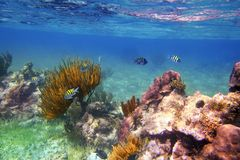 Fische des Sergeanten Major im karibischen Riff Mexiko Stockfoto