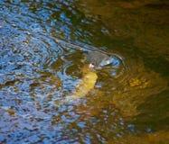 Fische, die steigen, um Fliege zu nehmen lizenzfreies stockfoto