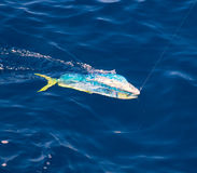 Fische Dorado Mahi-Mahi gehakt mit Angelschnur Stockbild
