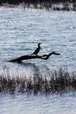Fische Eagle Stockfoto