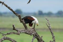 Fische Eagle, das einen Fisch isst Lizenzfreies Stockbild
