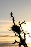 Fische Eagle zu Hause Lizenzfreie Stockbilder