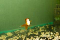 Fische in einem Aquarium Lizenzfreies Stockbild