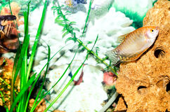 Fische in einem Aquarium Stockfotos
