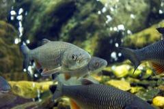 Fische in einem Aquarium Lizenzfreies Stockfoto