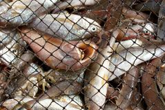 Fische in einem Netz Stockbilder