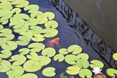 Fische in einem Teich Stockbilder