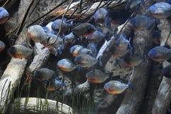 Fische in einem tropischen Acquarium Lizenzfreie Stockbilder