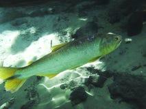 Fische in einer blauen Lagune Lizenzfreies Stockfoto