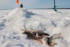 Fische gefangen auf dem Eis Lizenzfreie Stockbilder