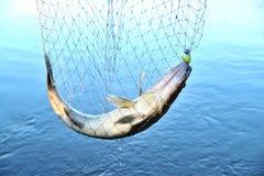 Fische fingen im Netz vor dem hintergrund des Wassers, zander, lizenzfreies stockfoto