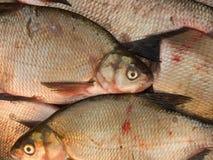 Fische frisch Lizenzfreies Stockfoto