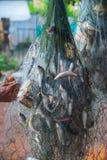 Fische gefangen in den Netzen Lizenzfreies Stockfoto