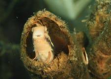Fische - gestreifter Blenny Stockfotografie