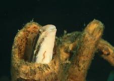 Fische - gestreifter Blenny Stockfotos
