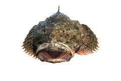 Fische getrennt auf Weiß, Groppe Lizenzfreie Stockfotos