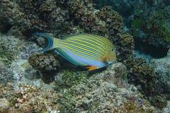 Fische gezeichnetes Surgeonfish Acanthurus lineatus Stockbilder