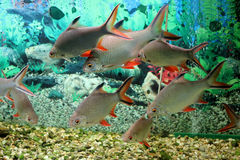 Fische im acquarium Stockfoto