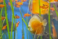 Fische im acquarium Stockfotografie
