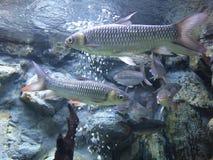 Fische im Aquarium Stockbild
