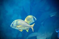 Fische im Aquarium Stockfotos